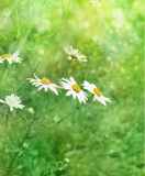 White camomile in a meadow Royalty Free Stock Image