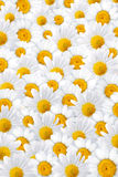 White camomile petals background Royalty Free Stock Photos