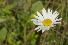 White camomile with raindrops on blurred background.  royalty free stock photos