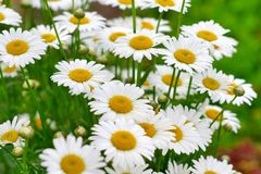 Free White Camomiles Royalty Free Stock Photography - 11707207