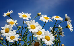 White camomiles on blue sky background Stock Images