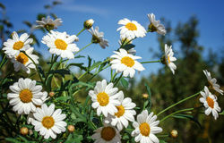 White camomiles on blue sky background Royalty Free Stock Photos