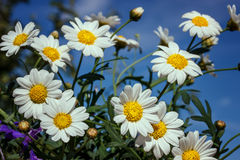 White camomiles on blue sky background Royalty Free Stock Image