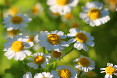 White Camomiles Stock Images