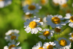 White Camomiles Stock Photography