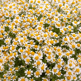 White camomiles Royalty Free Stock Images