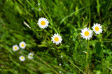 White camomiles on a meadow Royalty Free Stock Photo