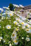 White camomiles near medieval chateau Royalty Free Stock Photos