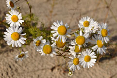 White camomiles on the yellow sand. Summer flowers Stock Images