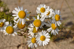 White camomiles on the yellow sand. Summer flowers Stock Image