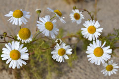 White camomiles on the yellow sand. Summer flowers Stock Photography