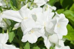 White campanula flowers Stock Photos