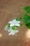 White campanula isophylla flower on brown background Royalty Free Stock Image