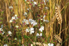 White campion bloom in field Stock Photos