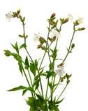 White campion flower Stock Photos