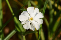 White Campion Royalty Free Stock Photos