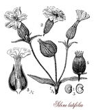 White campion (sylene latifolia), botanical vintage engraving Royalty Free Stock Photos