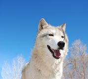 White Canadian Tundra Wolf. Close up of a beautiful Canadian Tundra Wolf below a blue sky Stock Photos