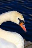 White candid swan Stock Photo