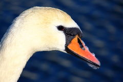 White candid swan Royalty Free Stock Photography