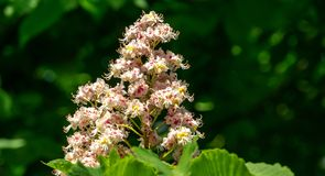 White candles of flowering Horse chestnut Aesculus hippocastanum, Conker tree on background of dark green foliage stock photos