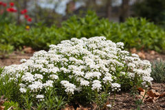 White candytuft flowers in bloom Stock Photo