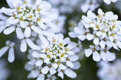 White Candytuft Royalty Free Stock Images