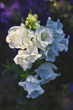 White canterbury bells Royalty Free Stock Photography