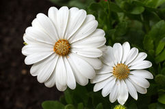 White cape  daisy Royalty Free Stock Image