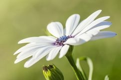 White cape daisy with purple center Royalty Free Stock Image