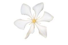 White Cape Jasmine royalty free illustration