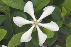 White Cape Jasmine Stock Image
