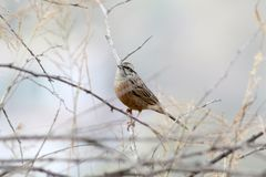 White capped bunting stock photography