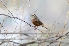 White capped bunting royalty free stock image