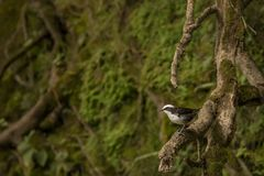 White capped dipper in a tree. This is a photo of a white capped dipper, taken in banos de agua santa, Ecuador stock images