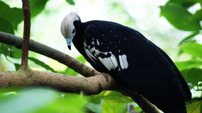 White-capped guan. A blue arbori [1], or white-capped guan [2] Latin Pipile pipile is a rare bird of the Kraks family. The endemic of the Caribbean island of Stock Photos