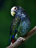 White-capped Parrot Stock Photo