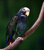 White-capped Parrot Royalty Free Stock Images