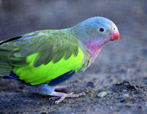 White-capped Parrot Stock Image