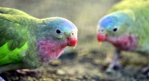 White-capped Parrot Royalty Free Stock Photo