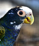 White-capped Parrot Royalty Free Stock Image