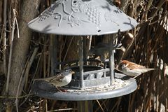 White capped sparrow and cousin sparrow. At the bird feeder and bath Royalty Free Stock Photography
