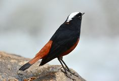 White-capped Water Redstart (Chaimarrornis leucocephalus) Royalty Free Stock Image