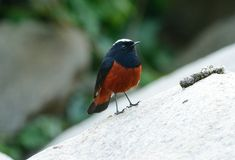White-capped Water Redstart (Chaimarrornis leucocephalus) Royalty Free Stock Photos