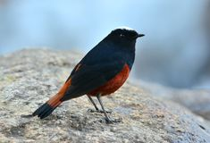 White-capped Water Redstart (Chaimarrornis leucocephalus) Royalty Free Stock Photography
