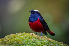 White-capped water redstart (Chaimarrornis leucocephalus) Stock Images