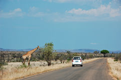 White car on safari passing a giraffe standing on the left side of the road in Kruger Nationalpark South Africa Royalty Free Stock Image
