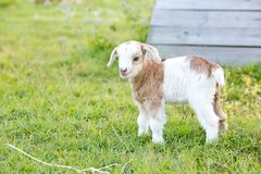 White and caramel newborn baby kid miniature goat standing in gr Stock Photography