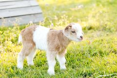White and caramel newborn baby kid miniature goat standing in gr Royalty Free Stock Photography