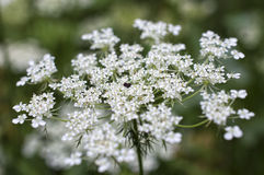 White caraway flower closeup Stock Photos
